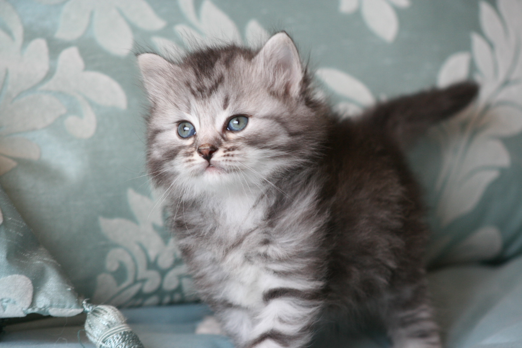 Pics Photos - Siberian Cat Wallpaper On Siberian Cats Desktop ...