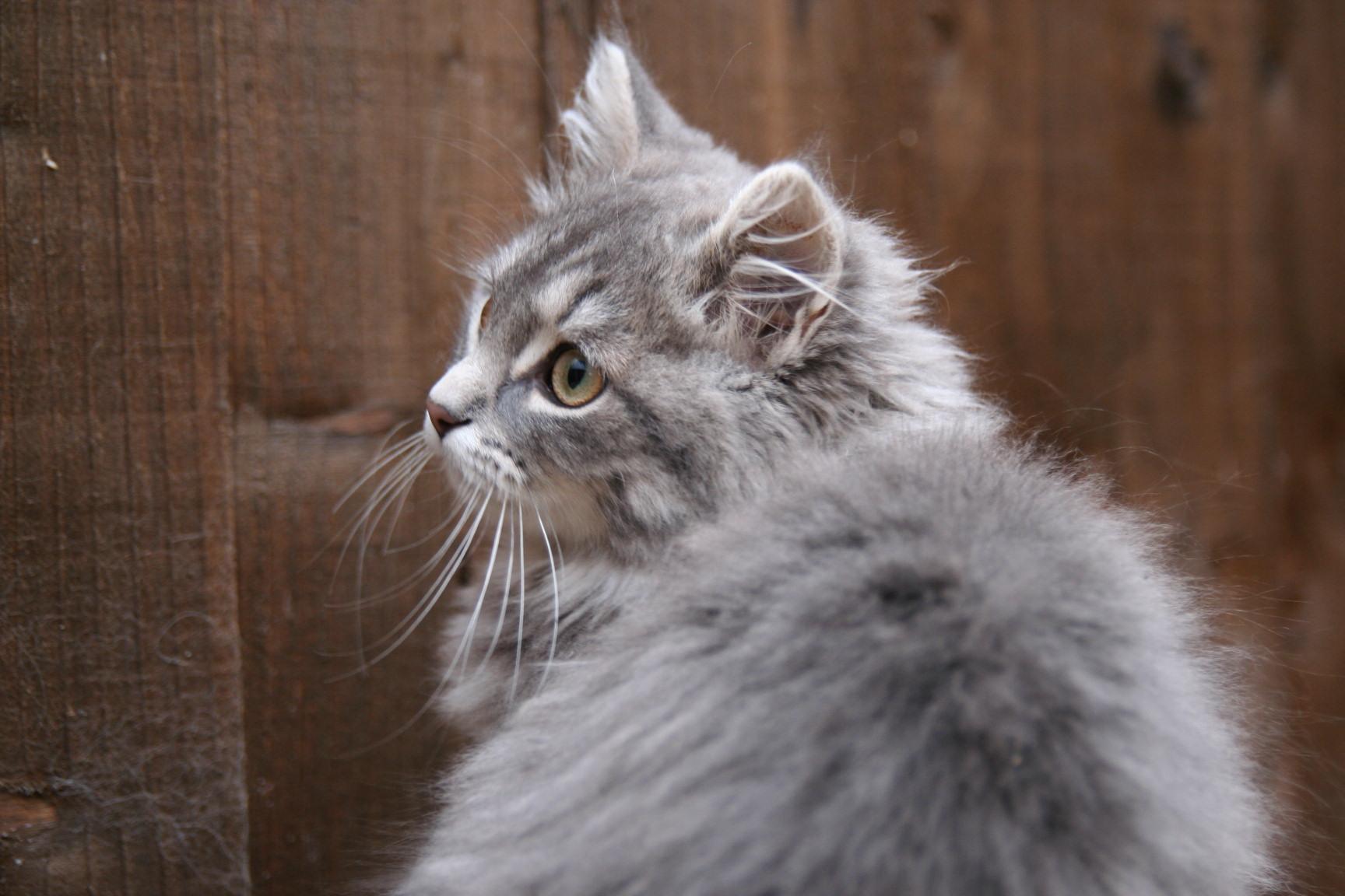Silver Siberian Kittens - Silver Siberian Cats - cats