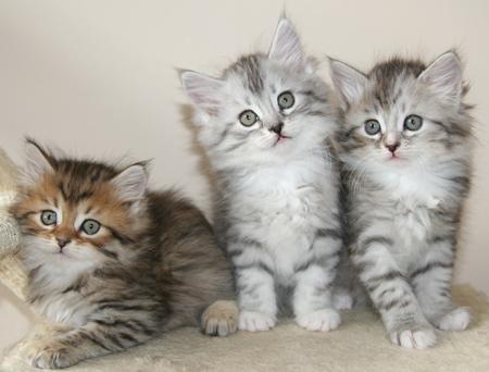 Siberian Cat Kittens Available