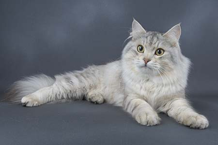 Siberian cat Wallpapers