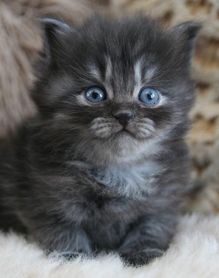 fluconazole for cats