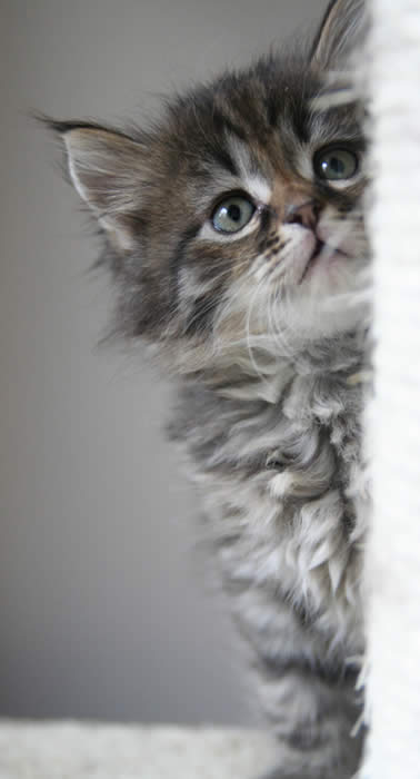 Silver Siberian Kittens Silver Siberian Cats Available